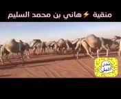 Beautiful smoulders gracefully cross the desmert🤩فيديو إبل مدهش إبل مشي جمال رشيقة وحش إبل صحراء إبل هبة من اللهmashallah🙏 from قناة فيديو